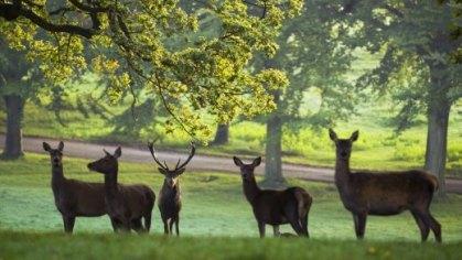 Ripon Deer